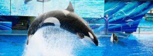 Shamu der Killerwal, Star des SeaWorld Orlando