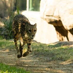 Busch Gardens Tampa Cheetah